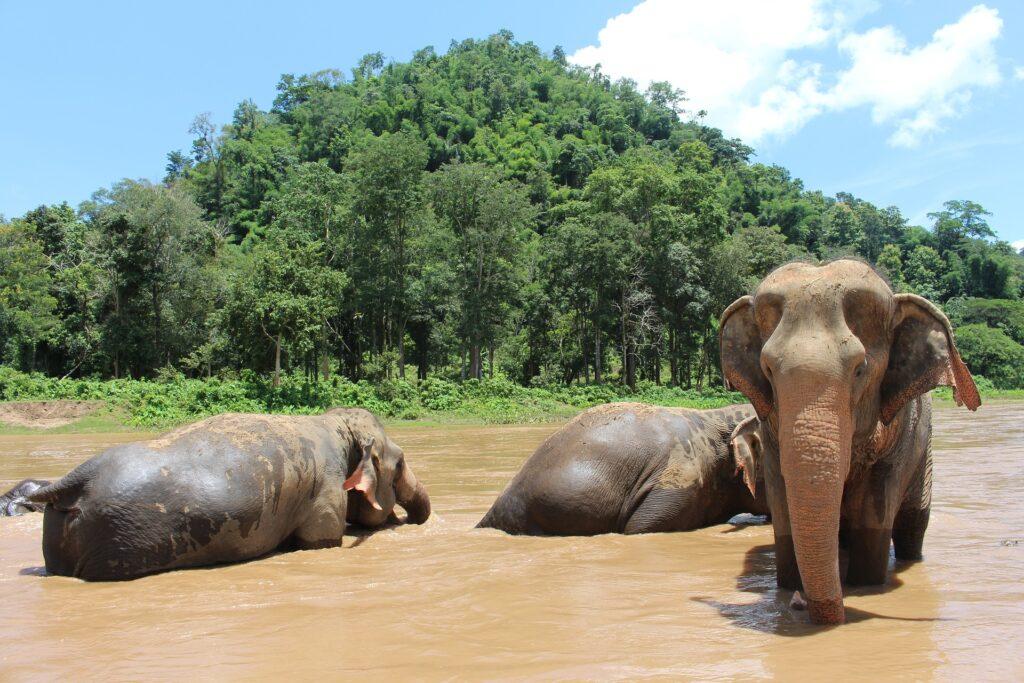 Olifanten in Thailand: Kies voor een liefdevolle olifantenopvang